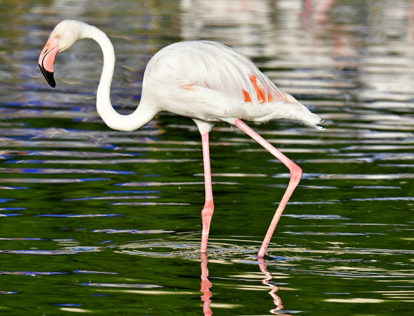flamingo in the zoo