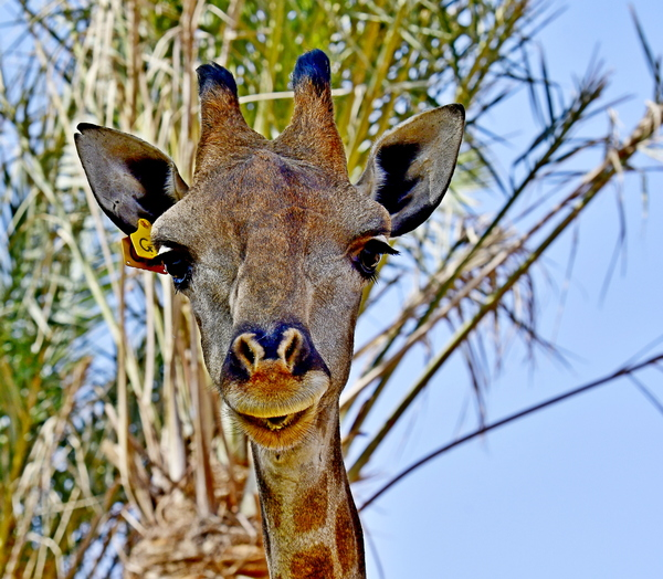 Head Shot Giraffe of Africa: Giraffe, (genus Giraffa), any of four species in the genus Giraffa of long-necked cud-chewing hoofed mammals of Africa, with long legs and a coat pattern of irregular brown patches on a light background