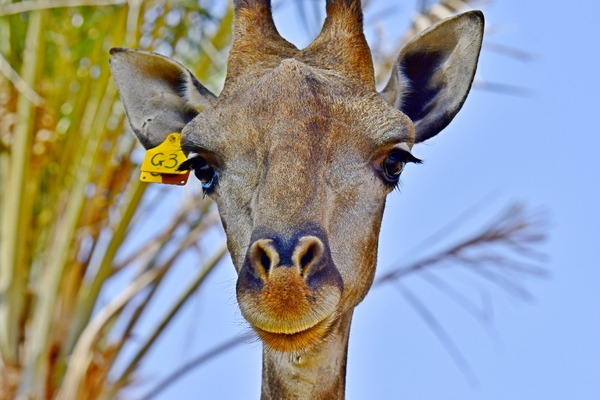 Portrait of African Giraffe: Giraffe, (genus Giraffa), any of four species in the genus Giraffa of long-necked cud-chewing hoofed mammals of Africa, with long legs and a coat pattern of irregular brown patches on a light background