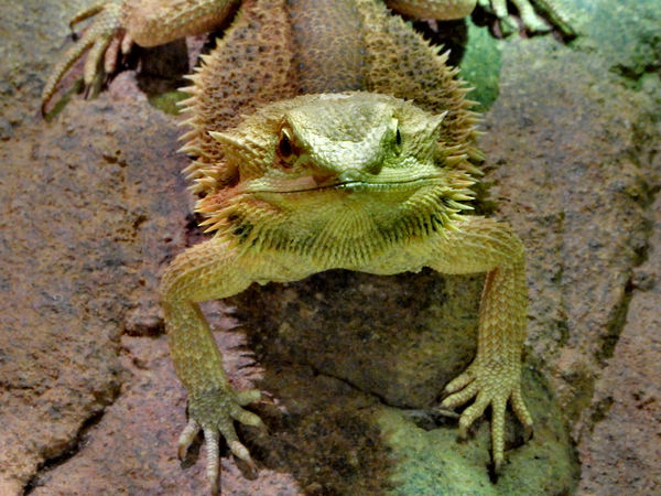 bearded dragon5