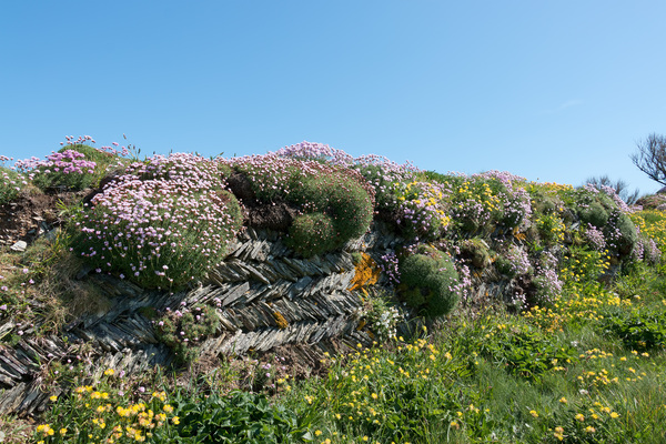 Drystone wall and flowers