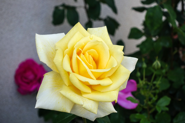 big yellow rose
