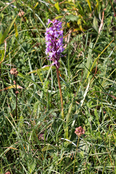 Fragrant orchid: Fragrant orchid (Gymnadenia conopsea) growing on a chalk ridge in Hampshire, England.