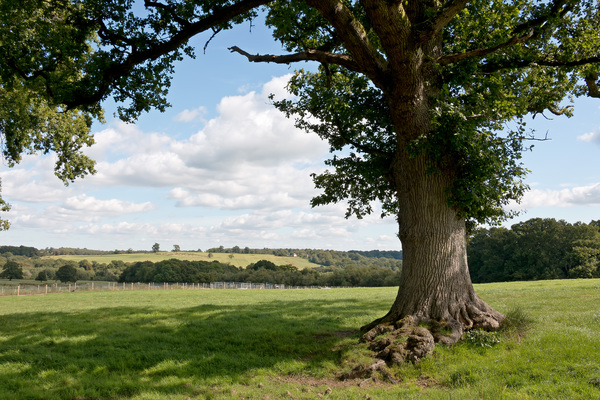 Sussex landscape: Landscape with oak tree in the Weald, Sussex, England.