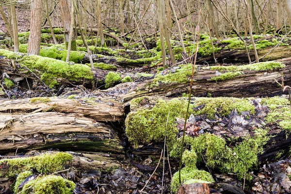 mossy trees woodland