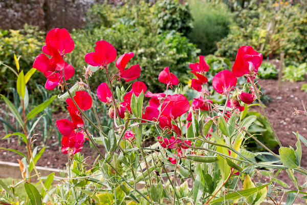 Red sweet peas: Red sweet peas (Lathyrus odoratus) in a garden in England.