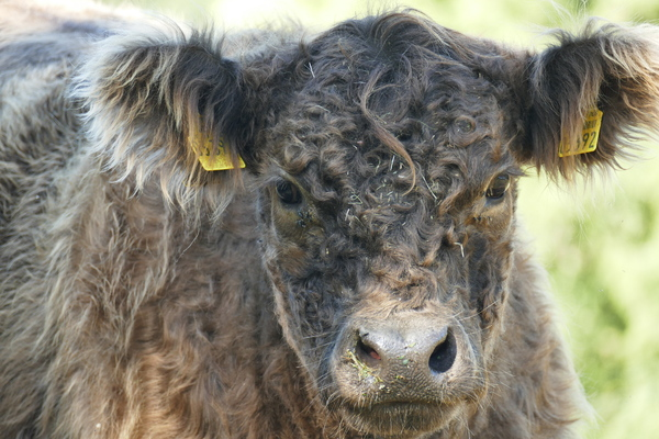 Young Galloway cattle