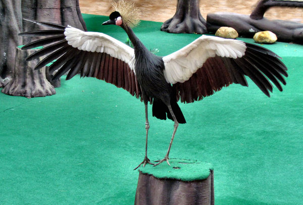 black crowned crane1