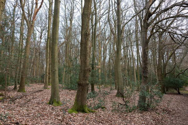 Woodland in late winter: Deciduous woodland with holly (Ilex) understorey in Surrey, England, in late winter.