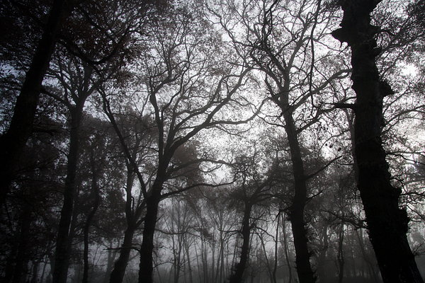 Foggy wood 1