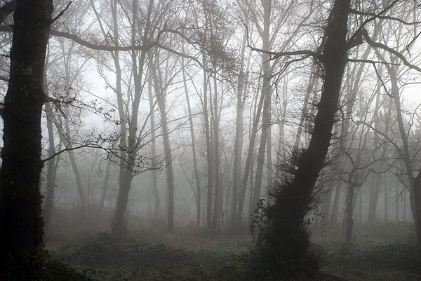 Foggy wood 5