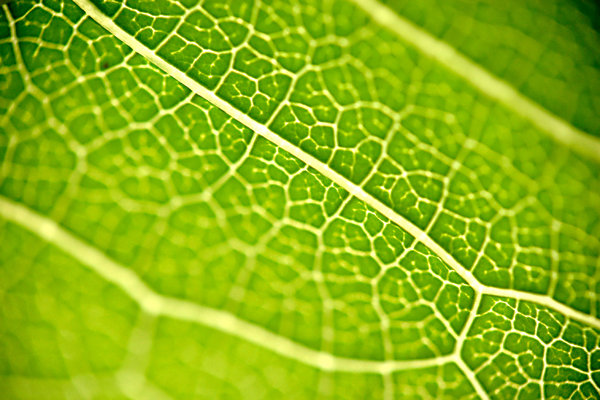 Veins: Leaf vein macro :)