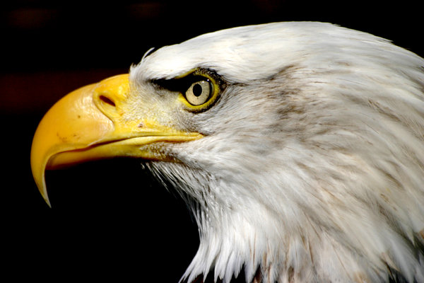 Bald Eagle 1: :) I love these things, theyre so dam powerful. Id love to be an eagle.
