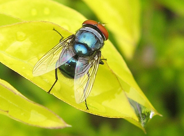 common blow-fly
