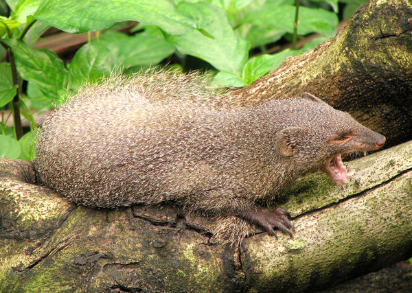 Mongoose: Indian Mongoose relaxing