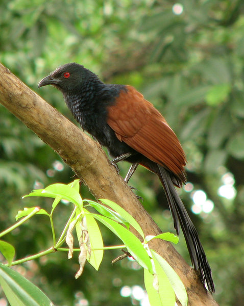 Crow Pheasant/ Coucal