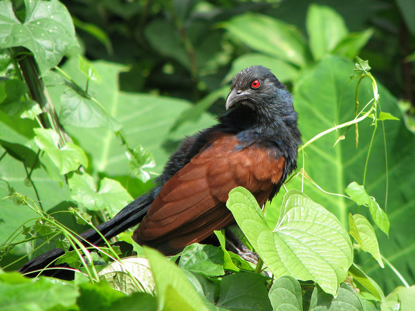 Crow Pheasant/ Coucal: Crow Pheasant, also known as Coucal