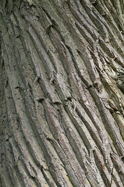 Chestnut bark: Bark of a sweet chestnut (Castanea sativa) tree in England.