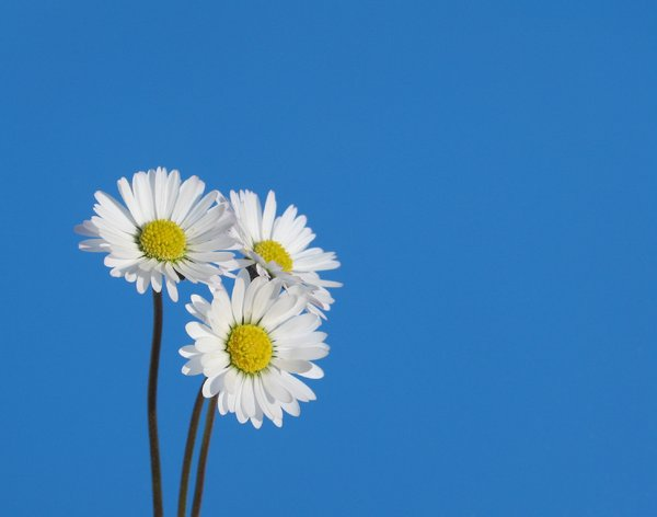 little daisies 2: none