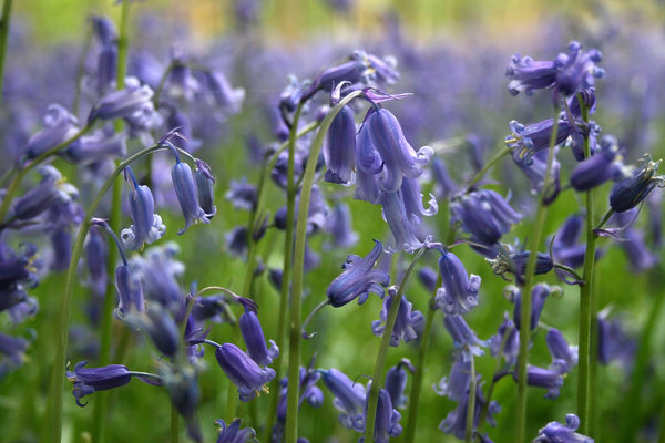Bluebells 2: Bluebells (Endymion non-scriptum) in woodland in West Sussex, England, in spring.