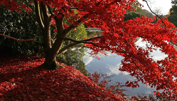 Lakeside red: Autumn colours on a lakeside ornamental maple (Acer) tree in a park in East Sussex, England.