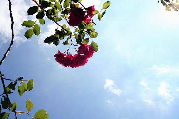 roses: roses against blue sky