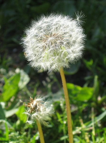 dandelion clock blowball