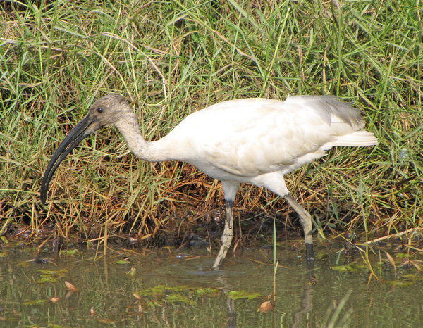 Black-headed Ibis: Black-headed Ibis at Mulky, Karnataka, India.