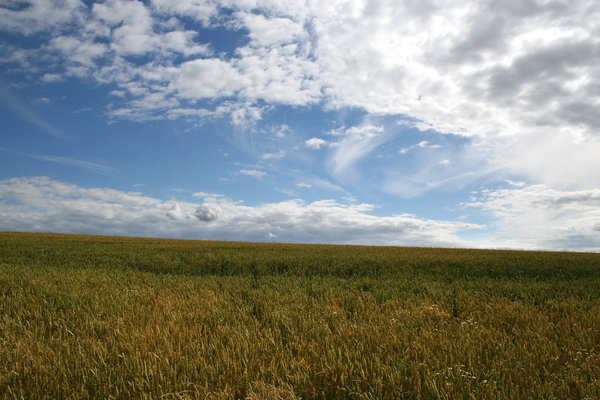 Golden wheat: A summer field of ripening wheat in West Sussex, England.