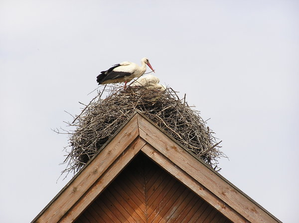 Storks in the nest: Some storks sitting in the nest on the roof of a house, Kadzidlowo, Poland.Please mail me or comment this photo if you liked/used it. Thanks in advance.