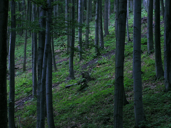 Mountain forest (on the hillsi: A mountain hill and a pine creepy forest, in which even in daytime it is dark.Please mail me or comment this photo if you decide to use it. Thanks for letting me know, that's all!I would be happy to receive the information about picture usage. I would be