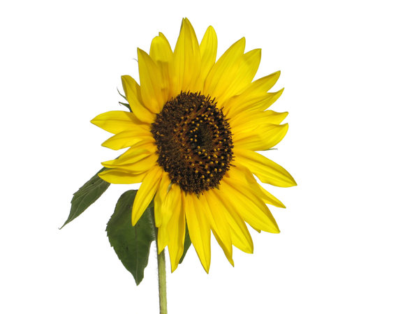sunflower 3: none