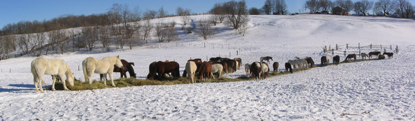Horses eating in winter (Panor
