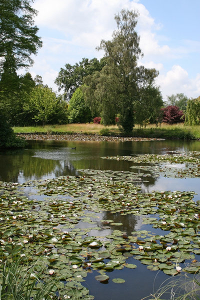 Pond in a park: Waterlilies in an ornamental pond in a park in West Sussex, England.