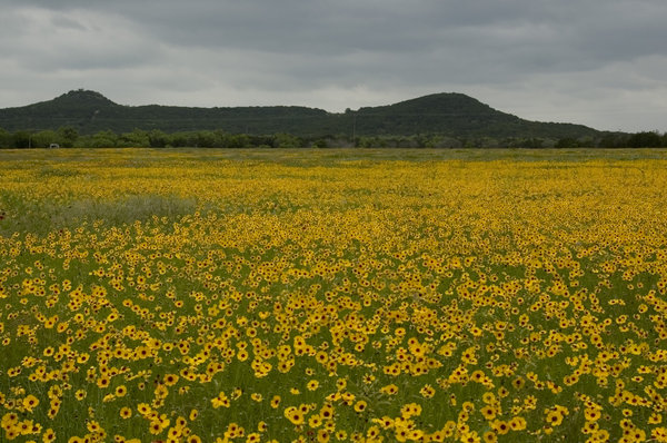 Wild Flowers: Wild Flowers of Central Texas