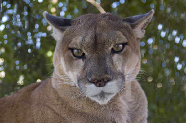 Mountain Lion: A mountain lion staring at the camera