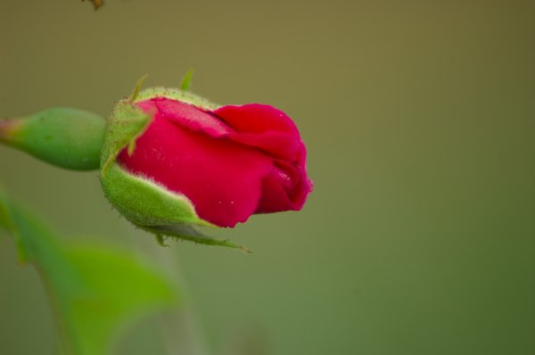 single young rose