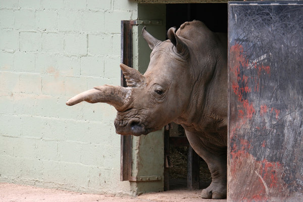 Wistful: A rhinoceros pondering in a zoo in Hampshire, England.