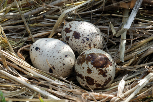 In the partridge nest 1: Eggs of quail