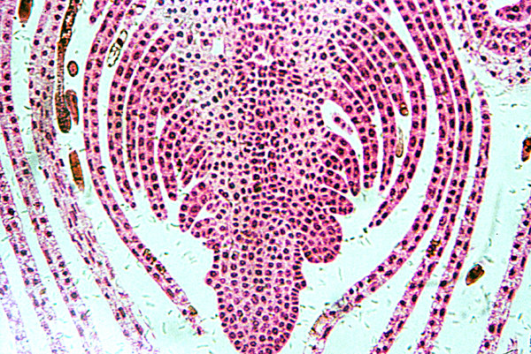 Growing tip of the shoot - mic: The apical meristem, or growing tip, is a completely undifferentiated meristematic tissue found in the buds and growing tips of roots in plants. 500 x magnification