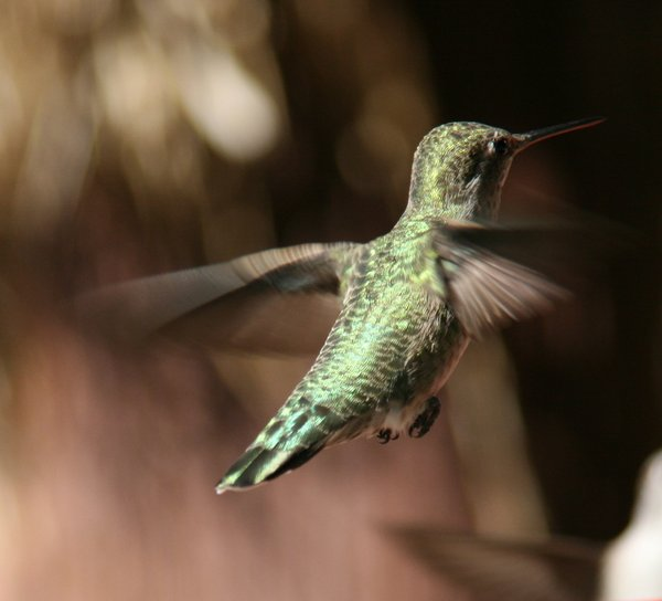 Hummingbird: Pictures from Indian Canyon, Palm Springs California