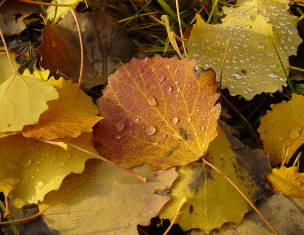 Autumn poplar leaves: Leaves of poplar after short rain in autumn