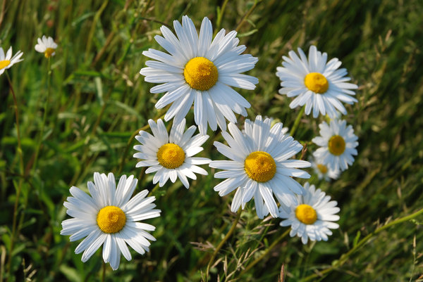 Daisy 3: PLEASE RATE US!Oxeye daisy.