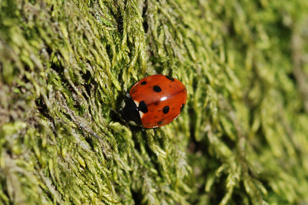 ladybird: ladybird on moss on tree, early spring, southern Sweden, 2007-03-26.
