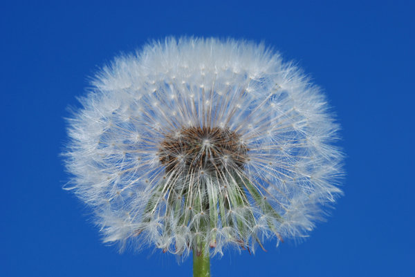 Dandelion Globes 1: Dandelions, a very common weed in many parts of the world. The flower matures into a ball of filaments carrying away achenes with seeds.This replaces previously uploaded photo that had sensor dust artifacts on it.