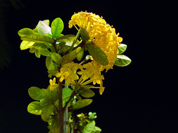 Yellow flower at the night