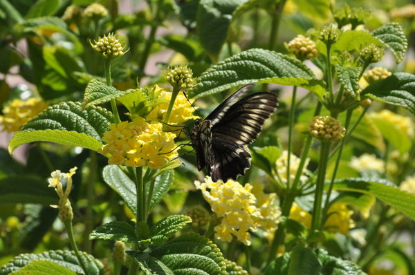 Chilean black butterflly: Black butterfly from the north of Chile