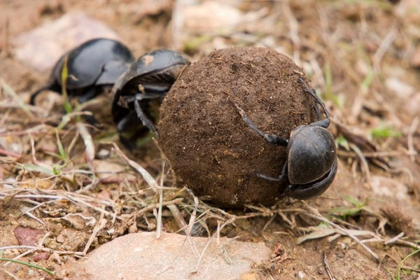 Dung Beetles: Three dung beetles rolling a perfectly round ball of dung.