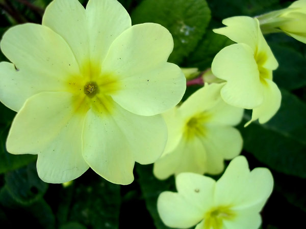 Yellow Primrose: From my old garden in the UK.