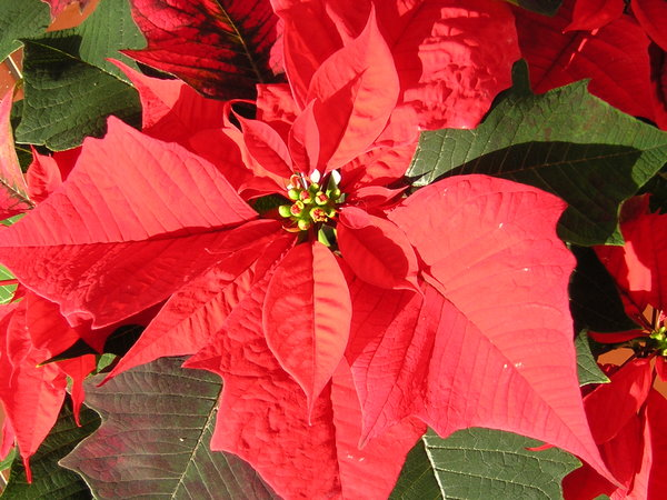 Poinsettia flower: Poinsettia potted in a large pot for christmas.